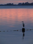SX15555 Grey heron (Ardea cinerea) on pole in lake at sunset.jpg