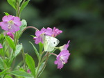 SX15775 Small white butterfly (Pieris rapae) on Great Willowherb (Epilobium hirsutum).jpg
