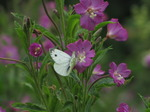 SX15777 Small white butterfly (Pieris rapae) on Great Willowherb (Epilobium hirsutum).jpg