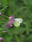 SX15779 Small white butterfly (Pieris rapae) on Great Willowherb (Epilobium hirsutum).jpg