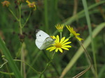 SX15787 Small white butterfly (Pieris rapae) on yellow flower (Ragwort).jpg