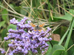 SX15817 Small copper butterfly (Lycaena phlaeas) on Common Sea-lavender (Limonium vulgare).jpg