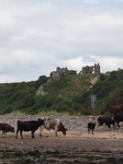 SX15846 Cows and bull on beach at Pennard Castle.jpg