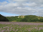 SX15881 Field of purple Common Sea-lavender (Limonium vulgare) at Pennard Castle, Three Cliffs Bay.jpg