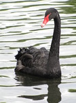 SX15992 Black swan in lake of St James's Park.jpg