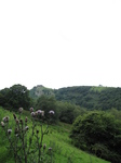 SX16172 Carreg Cennen Castle on top of distant cliffs.jpg