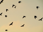 SX17401 Silhouette of flying Jackdaws (Corvus monedula).jpg