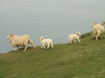 SX17924 Sheep and lambs on cliff.jpg