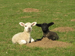 SX17925 Black lamb and white lamb.jpg