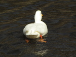 SX17950 White duck swimming away.jpg