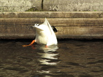 SX17953 White duck ducking.jpg