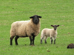 SX18002 Sheep and lamb.jpg
