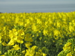 SX18007 Field of yellow Rape (Brassica napus).jpg
