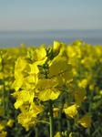 SX18008 Field of yellow Rape (Brassica napus).jpg