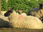SX18029 Sheep and lamb.jpg