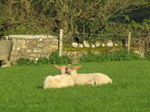 SX18036 Two lambs sun bathing.jpg