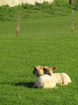 SX18043 Two lambs cuddled up.jpg