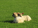 SX18046 Two lambs cuddled up.jpg