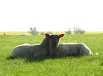 SX18049 Two lambs cuddled up.jpg