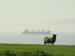 SX18051 Sheep and ship on mouth of Severn river.jpg