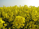 SX18098 Field of yellow Rape (Brassica napus).jpg
