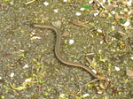 SX18106 Slow-worm (Anguis fragilis) on path.jpg