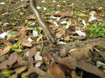 SX18107 Slow-worm (Anguis fragilis) on path.jpg