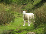 SX18224 Little lamb bleating.jpg