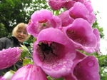 SX18742 Bee in foxgloves with Lib in background.jpg