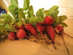 SX18746 First radishes from garden.jpg
