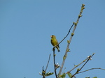 SX18752 Singing Greenfinch (Carduelis chloris) in tree.jpg