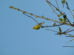 SX18755 Greenfinch (Carduelis chloris) in tree.jpg