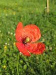 SX18790 Common poppy (Papaver rhoeas) in garden.jpg
