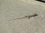 SX19109 Small lizard on street.jpg