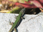 SX19544 Green and black lizard Cinque Terre Coastpath, Italy.jpg