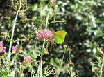 SX19685 Yellow butterfly on pink flower.jpg