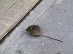 SX20136 House mouse (Mus domesticus) on shop doorstep.jpg