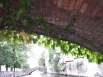 SX20172 Ivy hanging from bridge.jpg