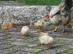 SX20243 Chicken with chicks at motorway services in Belgium.jpg