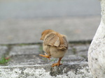 SX20247 Chick at motorway services in Belgium.jpg