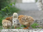 SX20249 Chicks at motorway services in Belgium.jpg