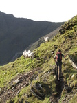 SX20602 Wouko hearding sheep on Crib-Goch, Snowdon.jpg