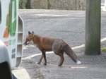 SX21471 Fox in Manorbier.jpg