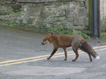 SX21472 Fox in Manorbier.jpg