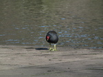 SX21881 Moorhen on edge of Geese on misty Longmoor Lake.jpg