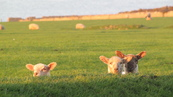 SX21909 Three lambs in morning sun.jpg