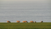 SX21918 Sheep grazing at the end of the world.jpg
