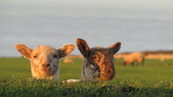 SX21925 Two lambs in morning sun.jpg