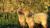 SX21944 Two lambs in morning sun.jpg