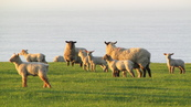 SX21946 Sheep with lambs in morning sun.jpg